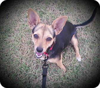 Dachshund/Chihuahua Mix Dog for adoption in Taylorsville, Utah - Pixie