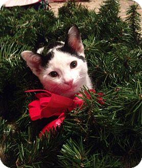 Domestic Shorthair Kitten for adoption in Chicago, Illinois - Cherry Garcia