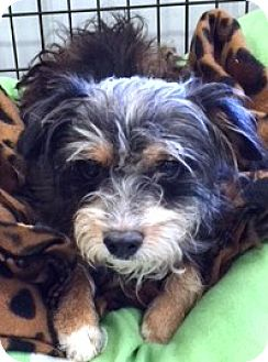Yorkie, Yorkshire Terrier/Schnauzer (Miniature) Mix Dog for adoption in Oswego, Illinois - Ainsley