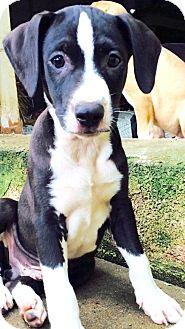 Labrador Retriever/Hound (Unknown Type) Mix Puppy for adoption in Glastonbury, Connecticut - Heath