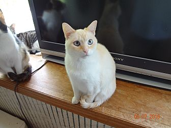 Siamese Cat for adoption in Saint Albans, West Virginia - Ember
