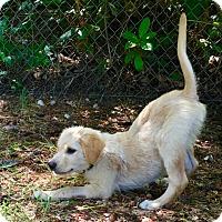 Adopt A Pet :: Bentley - Adoption Pending - Gig Harbor, WA