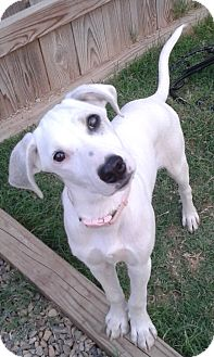 Pointer/Spaniel (Unknown Type) Mix Puppy for adoption in Manhattan, Kansas - Audi