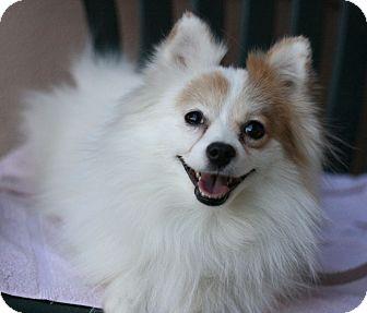 Pomeranian Dog for adoption in Canoga Park, California - Bailey Boy