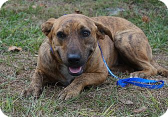 Plott Hound/Labrador Retriever Mix Dog for adoption in Oviedo, Florida - Yoda