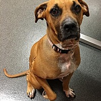 Boxer Mix Dog for adoption in Southeastern, Pennsylvania - Cocoa
