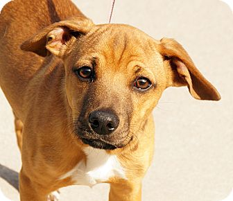 German Shepherd Dog/Labrador Retriever Mix Dog for adoption in Maynardville, Tennessee - Brock