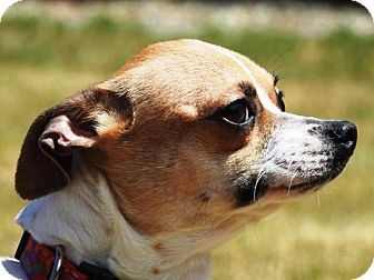 Chihuahua/Terrier (Unknown Type, Small) Mix Dog for adoption in Portola, California - Avery