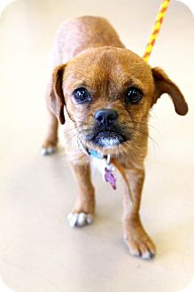 Pug/Terrier (Unknown Type, Medium) Mix Dog for adoption in Chino Hills, California - Achoo - Claremont