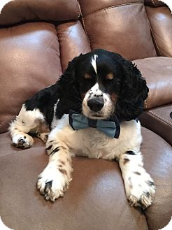 Cocker Spaniel Dog for adoption in Spring City, Tennessee - Laney: pending!