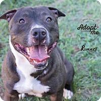 American Staffordshire Terrier/Pit Bull Terrier Mix Dog for adoption in Billings, Montana - Runner