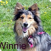 Adopt A Pet :: Winnie - Hamilton, MT