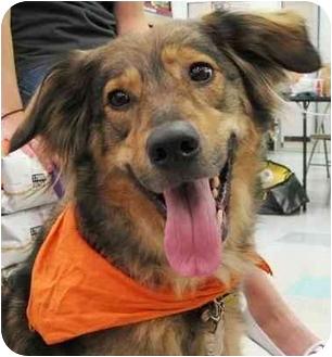 Collie/Shepherd (Unknown Type) Mix Dog for adoption in Chicago, Illinois - Savannah