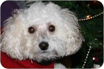 Poodle (Miniature) Dog for adoption in Omaha, Nebraska - Spicey