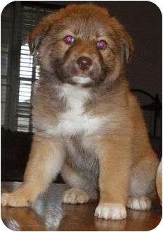 Border Collie/Australian Shepherd Mix Puppy for adoption in Staunton, Virginia - Sammie