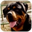 Photo 1 - Rottweiler Dog for adoption in Colville, Washington - Bodi