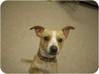 Dachshund/Terrier (Unknown Type, Small) Mix Dog for adoption in Fair Oaks Ranch, Texas - Jake