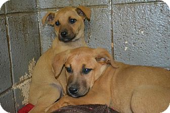 Labrador Retriever Mix Puppy for adoption in Henderson, North Carolina - E pups