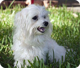 Maltese Dog for adoption in Houston, Texas - Bubbles