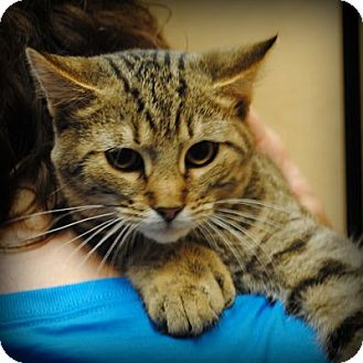 Domestic Shorthair Kitten for adoption in Weatherford, Texas - Dillon