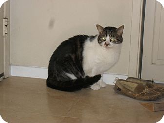 Domestic Shorthair Cat for adoption in Laguna Woods, California - mittens