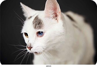 Domestic Shorthair Cat for adoption in New York, New York - Autumn