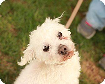 Poodle (Miniature) Mix Dog for adoption in Lancaster, Ohio - Wilson