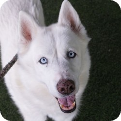 Husky Mix Dog for adoption in Eatontown, New Jersey - Daffy