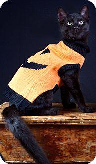 Domestic Shorthair Cat for adoption in Naples, Florida - Juan