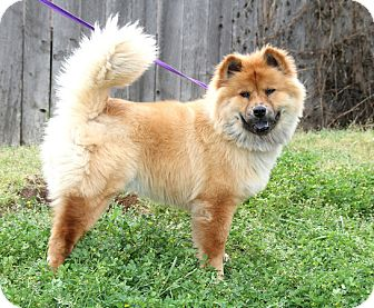 Chow Chow/Retriever (Unknown Type) Mix Dog for adoption in Sacramento, California - Juliet