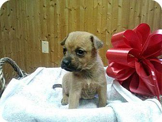 Labrador Retriever/Shepherd (Unknown Type) Mix Puppy for adoption in North Brunswick, New Jersey - Female 2