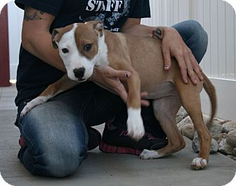 Pit Bull Terrier Mix Puppy for adoption in Yucca Valley, California - Frances Magdelana Louise