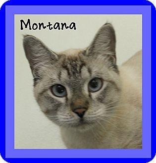 Siamese Cat for adoption in Covington, Louisiana - Montana