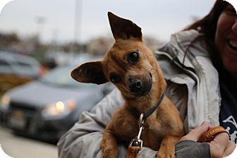 Chihuahua Mix Dog for adoption in Manassas, Virginia - Jellybean