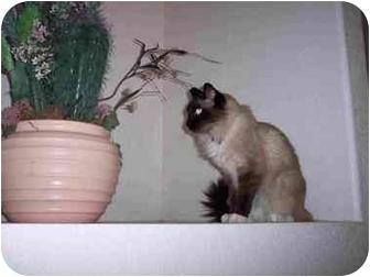 Birman Cat for adoption in Thatcher, Arizona - Sox