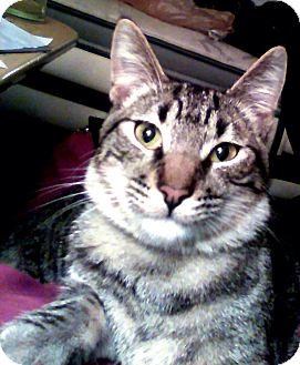 Domestic Shorthair Kitten for adoption in San Diego, California - Benedict