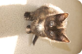 Domestic Shorthair Kitten for adoption in Bucyrus, Ohio - Diva