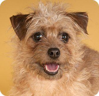 Norfolk Terrier Mix Dog for adoption in Chicago, Illinois - Rosie