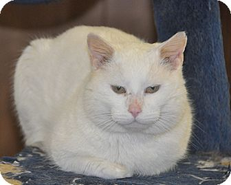 Domestic Shorthair Cat for adoption in Smithers, British Columbia - Buddy Holly
