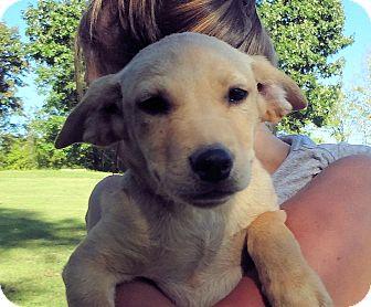 Labrador Retriever Mix Puppy for adoption in Conway, New Hampshire - Pixi