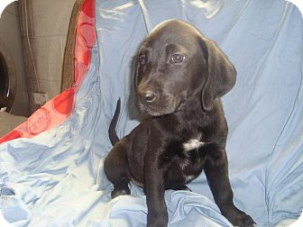 Labrador Retriever Mix Puppy for adoption in Old Bridge, New Jersey - Gypsy