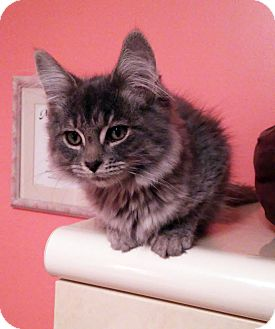 Domestic Longhair Kitten for adoption in Lombard, Illinois - Grover