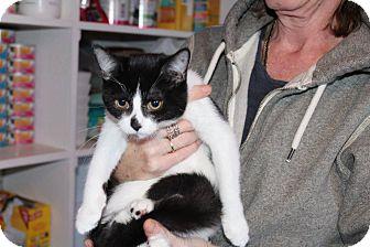 Domestic Shorthair Cat for adoption in Hamilton., Ontario - Ritz
