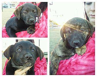 Labrador Retriever/Shepherd (Unknown Type) Mix Puppy for adoption in Newtown, Connecticut - Lab/Shepherd Pups
