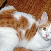 Domestic Shorthair Cat for adoption in Brainardsville, New York - Bethany