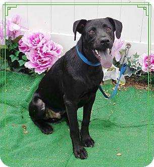 Labrador Retriever Mix Dog for adoption in Marietta, Georgia - JACQUES- also see PIERRE