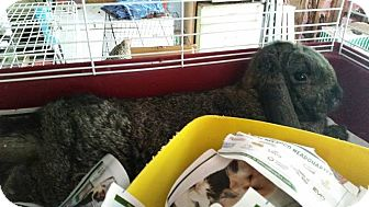Mini Lop for adoption in Greenfield, Indiana - Honey