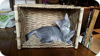 Domestic Shorthair Kitten for adoption in Louisville, Kentucky - Minnie