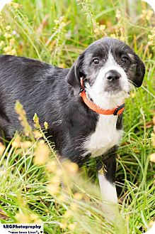 Schnauzer (Standard)/Cattle Dog Mix Puppy for adoption in Vancouver, British Columbia - Bailey