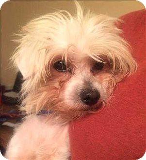 Maltese Mix Dog for adoption in Encino, California - Yogi